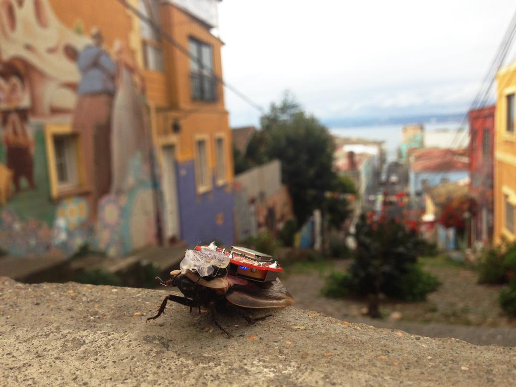 Testeo de la Barata electrónicamente asistida en un paseo por  los cerros de Valparaíso donde encontrara muchas amigas